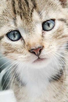 Just Look at those Beautiful Blue Kitty Eyes - Adorable Little Kitten, Aww!