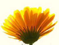 goudsbloemen: de olie en de tinctuur