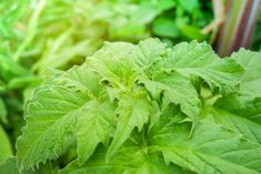 Expert tips on how to plant, grow, and harvest shiso in your home garden. Learn to grow shiso in minutes. Growing Mint, Growing Herbs, Compost Tea, Starting Seeds Indoors, Seeds For Sale, Types Of Plants, Garden Care, Seed Starting, Edible Garden
