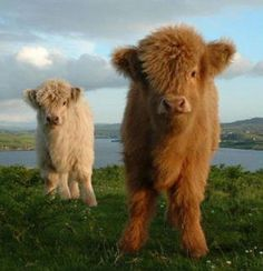 The last post reminded me about the highland cow cake that they made on Ace of Cakes. I went searching for highland calves and now I want to move to Scottland where they live just so I can cuddle with them :) I couldn't find a picture of the cake :( Cute Baby Cow, Baby Cows, Cute Cows, Cute Baby Animals, Farm Animals, Animals And Pets, Baby Highland Cow, Highland Cattle, Scottish Highland Cow