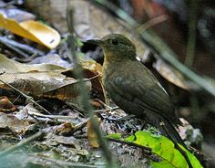 Vira-folha-de-bico-curto (Sclerurus rufigularis)