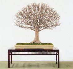 Japanese elm broom style
