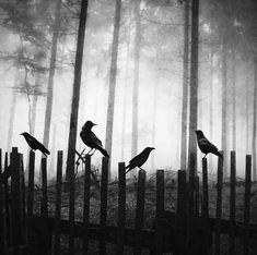 Raven Fence, The Enchanted Wood photo via debi Amazing Animals, Pretty Animals, Quoth The Raven, Enchanted Wood, Crows Ravens, Arte Horror, Foto Art, Pics Art, Dark Art