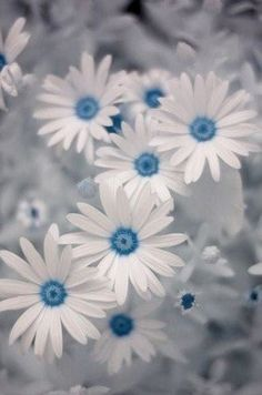 Blue color splash | A splash of Color | White Daisies