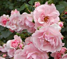 Bonica - my favorite rose bush. Easy to grow, looks beautiful and they smell like green apples ;)