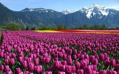 Beautiful Tulip Flower Garden Wallpaper Full H Wallpaper Garden Wallpaper, Field Wallpaper, Flower Wallpaper, Hd Wallpaper, Beautiful Wallpaper, Purple Tulips, Tulips Flowers, Flowers Nature, Happy Flowers