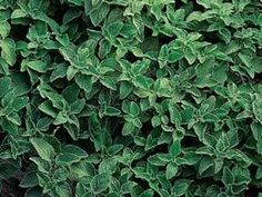 Hierbas aromaticas , cultivo y cuidado