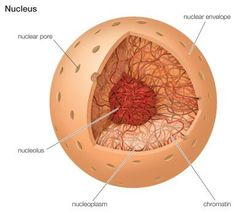 What Is the Structure and Function of the Nucleus?: Cell Nucleus