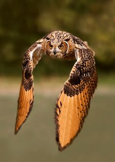 Love birds of prey. So amazing Beautiful Owl, Animals Beautiful, Cute Animals, Funny Animals, Photo Animaliere, Great Horned Owl, Owl Bird, Tier Fotos, Pretty Birds