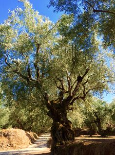 The Melia Extra Virgin Olive Oil is produced and collected at Messinia, near Kalamata.  >  The geographical location plays an important part of why Kalamata olive oil is so wonderful. The temperature and soil is top notch and perfect all year around.  >  We offer wholesale services (food service & retail) and private label optionsin all of our products.  >  For more information and orders, contact us at:  info@meliafresh.com  >  (Photo by Melia Freshline)