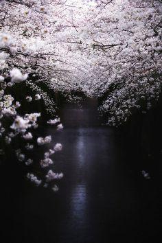 cherry blossoms / Japan