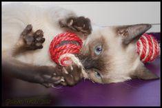 Petite snow lynx Lynx, Snow, Cats, Gatos, Kitty Cats, Cat Breeds, Eurasian Lynx, Kitty, Cat