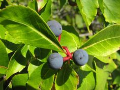 The blue berries of the Virginia Creeper are poisonous Poisonous Mushrooms, Poisonous Plants, Edible Plants, Virginia Creeper, Creepers, Blueberry, Healthy Living, Berries, Seeds