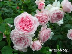 【楽天市場】メインカテゴリ> フランスの名門 デルバール−Delbard Roses− 新苗&大苗> スヴニール・ダムール・シリーズ> コンテス ドゥ セギュール:バラの家 【バラ苗専門店】