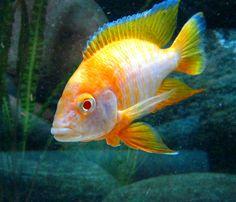 Cichlid Aquarium, Cichlid Fish, Malawi Cichlids, African Cichlids, Tropical Aquarium, Tropical Fish, Orcas, Fish Tank, Fish Fish