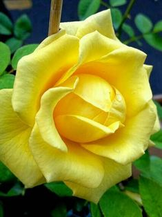 Yellow Rose Romantic Roses, Beautiful Roses, Love Rose, Love Flowers, Peonies, Tulips, Sunflowers, Good Morning Cards, Single Rose