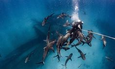 Dozens of reef sharks surround diver looking for a quick handout, Bahamas  Photographed by| @piachichile
