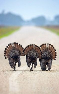 Keep in mind that I am from Worthington Minnesota, the Turkey Capital of the word.  So when I see the BOYS out for a stroll, it warms the cockles of my heart.  ||||  fans with paws
