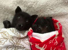These baby bats are just so adorable! But did you know that, in Native American culture, a 'bat' is seen as a spiritual guide through darkness? In China, bats are 'omens' of 'good fortune & a long life' Animals And Pets, Baby Animals, Bat Flying, Baby Bats, Fruit Bat, Cute Bat, Mundo Animal, Tier Fotos, Cute Funny Animals