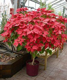 Indoor Flowers, Indoor Plants, Euphorbia Pulcherrima, Best Indoor Trees, Poinsettia Tree, Christmas Plants, Garden Planters, Plant Decor, Trees To Plant