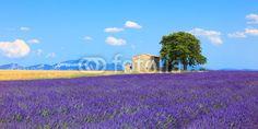 Lavender květiny kvetoucí pole, dům a strom. Provence, Franc