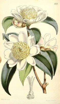 855 Camellia sasanqua Thunb. var. anemoniflora / Curtis's Botanical Magazine, vol. 85 [ser. 3, vol. 15]: t. 5152 (1859) [W.H. Fitch]