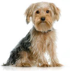 Yorkshire-Terrier.jpg (398×400)