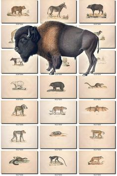 MAMMALS-43 Collection of 155 vintage images animals Bison