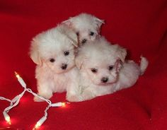 Baby Doll Face Maltese Puppies