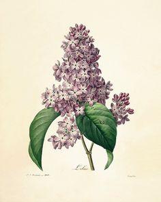 Lilac art antique botanical prints Vintage by AntiqueWallArt