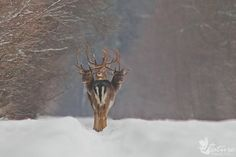 """volari:  """" archiemcphee:  """" If Cerberus, the three-headed dog, guards the entrance to Hades, what do you suppose a three-headed deer is the guardian of? This awesome image of three fallow deer bucks, standing in a perfect row and looking backward at..."""