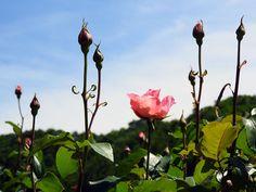 梅雨前の青空にバラの蕾の尖塔を見る【冬鳥越スキーガーデン:新潟県】
