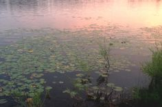 """timidflower: """" Water lilies gently floating as the golden sky is reflected on the water. """""""