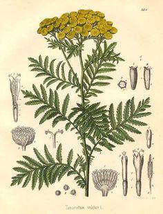 Tanacetum vulgare Geel/Oranje