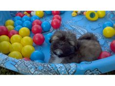 listing AKC Shih tzu puppy, last but not least. is published on Free Classifieds USA online Ads - http://free-classifieds-usa.com/for-sale/animals/akc-shih-tzu-puppy-last-but-not-least_i34879