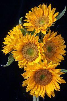 * Solar Flare Sunflower *