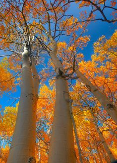 gorgeous aspens!