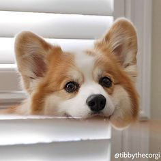 Corgi lovers, Corgi dog lovers, The Welsh Corgi, Pembroke Welsh Corgi Cute Corgi Puppy, Corgi Funny, Corgi Dog, Funny Dogs, Cute Puppies, Cute Dogs, Dogs And Puppies, Teacup Puppies, Corgi Pembroke