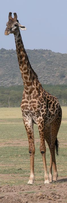 Males grow up to 19 ft tall & weigh up to 4,000 lbs