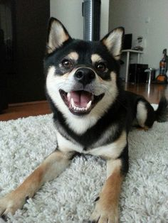 Black and tan Shiba Inu.