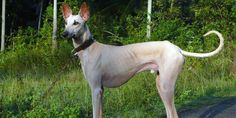 Chippiparai Dog Breed Information #Chippiparaidog #dogbreed #Indiandogbreed