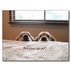 Are You Up Yet Golden Retriever Postcard by #AugieDoggyStore. Sold to a customer in Maryborough, Australia.