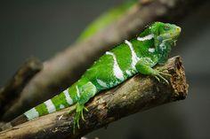 Iguana of Fiji