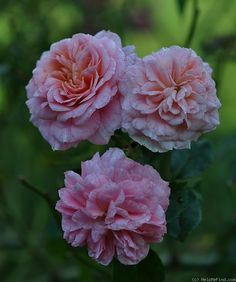 'Pirouette ™ (climber, Olesen 2002)' rose, click to enlarge