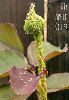 This easy DIY spray will kill aphids and keep them off your house plants and garden flowers, too! It's quick, simple and effective!