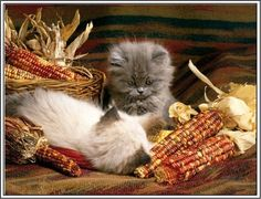 Thanksgiving Is A Cats Favorite Holiday 26 Photos