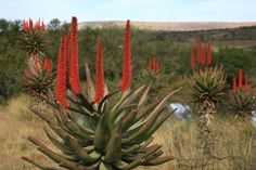 aloes of south africa - Google Search
