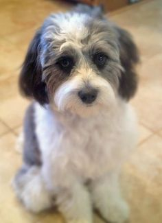 70 Best Dogs Images Cute Dogs Shih Tzu Poodle Mix Cute Baby Dogs
