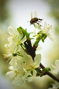 На цветках вишни...