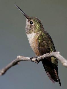 Colibri largo-atado, fêmea, imatura. A fêmea possui lados cor de ferrugem…